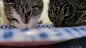 Cats Eating Pot Roast * Cats Love Pot Roast * ASMR Cat Eating