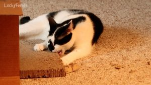 NoysPets Hanging Cat Scratcher Update - Cats Eating Cardboard
