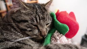 Simba Sleeping With His Valentine's Day Rose - Cat Sleeping With Rose On Cat Tree