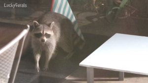 Raccoon Testing The Raccoon Proof Feral Cat Feeder Hydrox Watching
