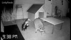 Caught On Camera - The First Night With The New Raccoon Proof Feral Cat Feeder Setup