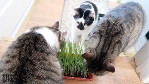 Jiffy Cat Grass Kit - Oat Grass For Cats - Product Review And Unboxing