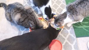 Boo Day 342 - All Four Cats Eat Together On The Same Platter