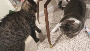 How To Stop A Cat Stare Down And Avoid A Cat Fight - Cats Being Jerks