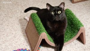 "A wide-eyed Boo is captivated by ""the grabber"". #blackcatmonth #blackcatlove"