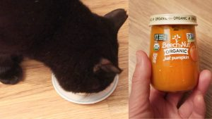 Cats Try Pumpkin Baby Food For The First Time