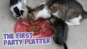A Feral Cat Family's First Party Platter