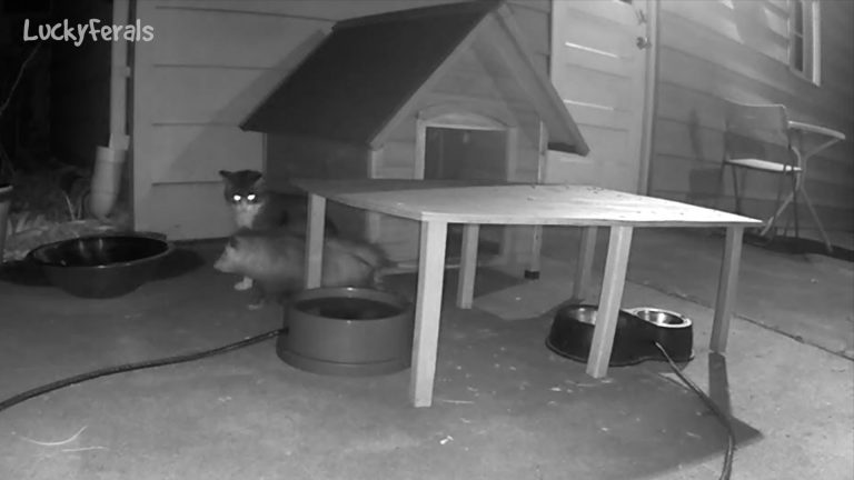 feral cats caught on camera