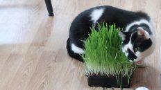 cat eating cat grass