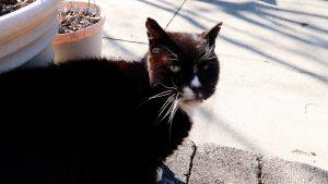 hydrox the feral cat
