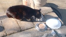 feral cat eating food