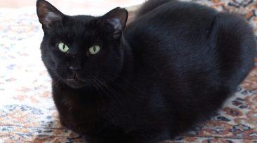 beautiful boo black cat