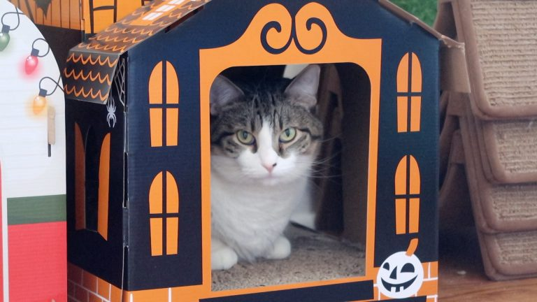 cat in cardboard house