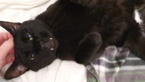 black cat pets