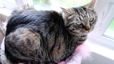 tabby cat watching rain