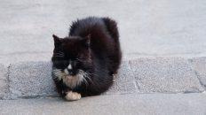 Tuxedo Cat Loaf