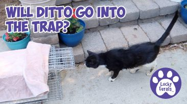 trapping injured feral cat